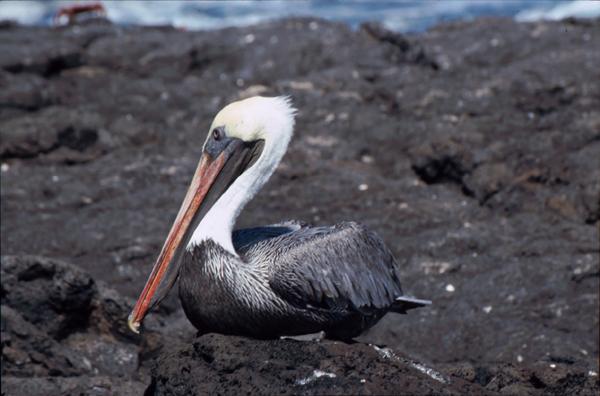 Galapagos106